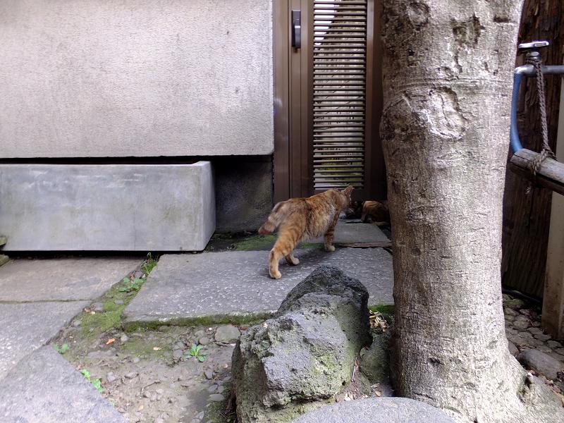 友だちのキジ系猫1