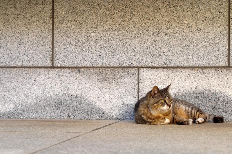 石壁前のキジトラ猫1
