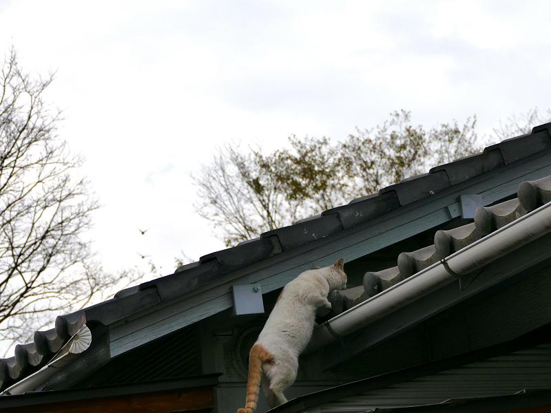 再び屋根に上がろうとする白茶猫1