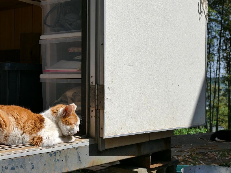 物置ハウスの茶白猫