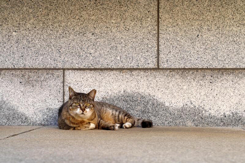 石壁前のキジトラ猫2