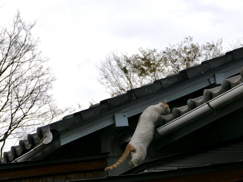 再び屋根に上がろうとする白茶猫2