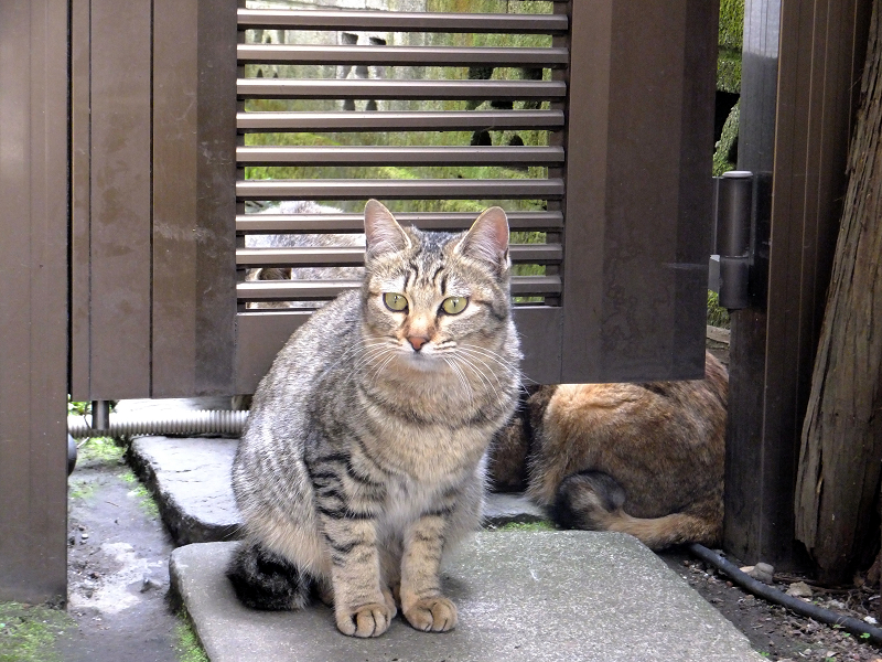 友だちのキジ系猫3