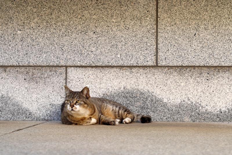 石壁前のキジトラ猫3