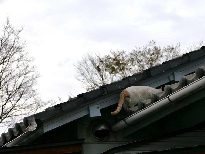 再び屋根に上がろうとする白茶猫3