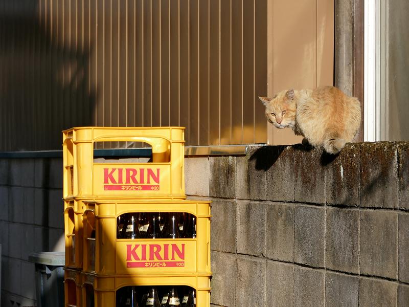 ブロック塀の茶白猫3