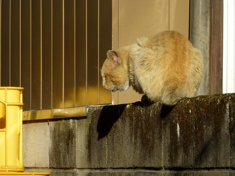 ブロック塀の茶白猫4