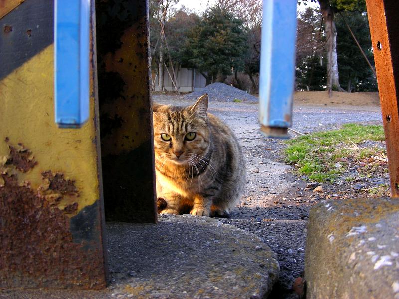 夕日を浴びてるキジトラ猫1