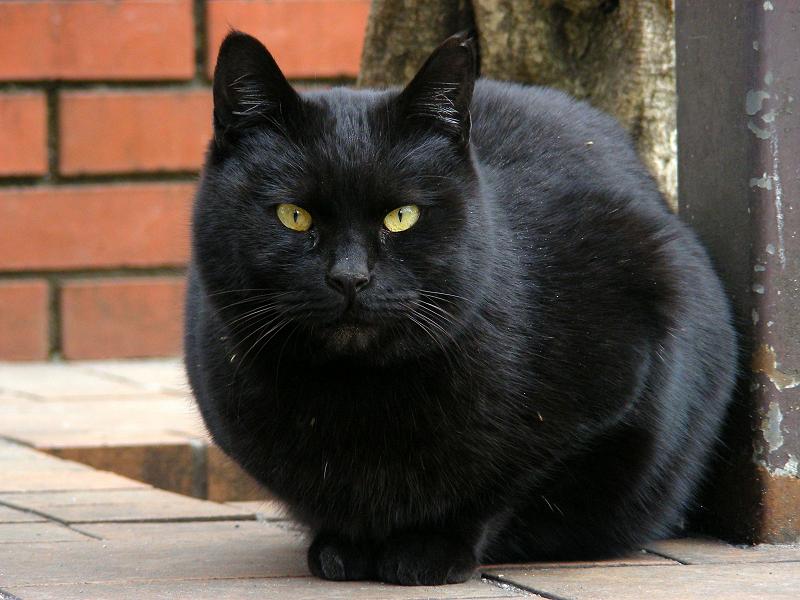まるっとした黒猫