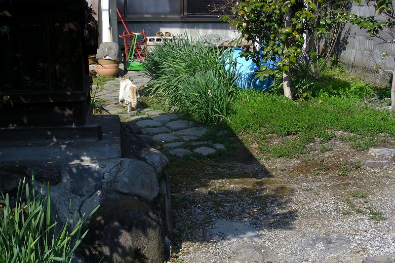 民家庭先の茶トラ猫1