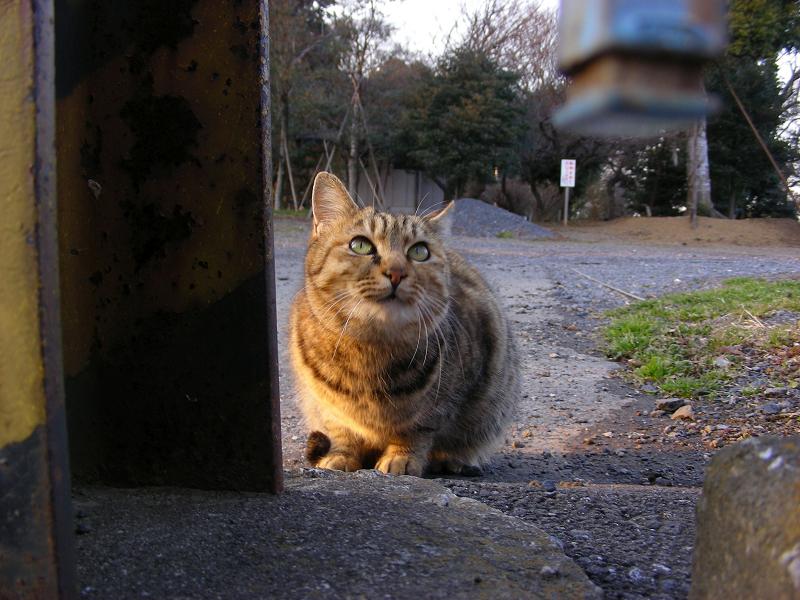 夕日を浴びてるキジトラ猫2