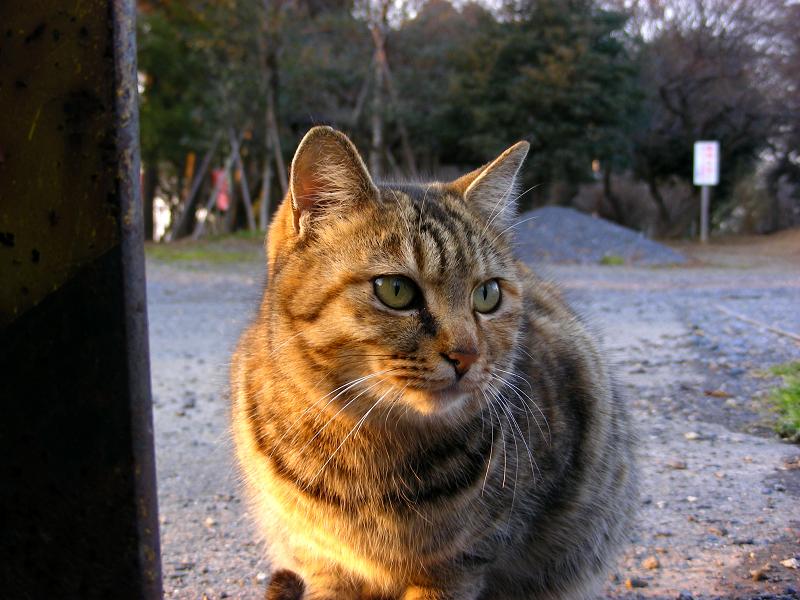 夕日を浴びてるキジトラ猫3