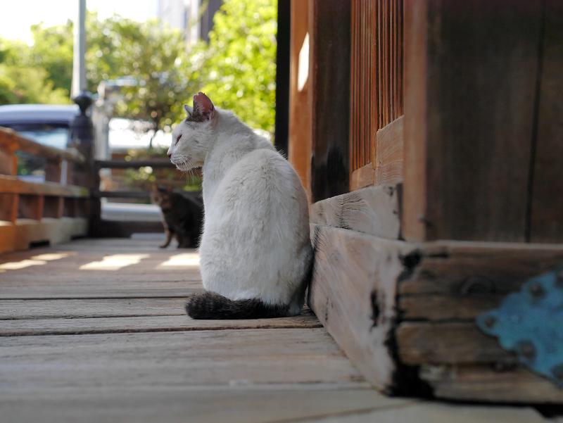 濡れ縁の白キジ猫1