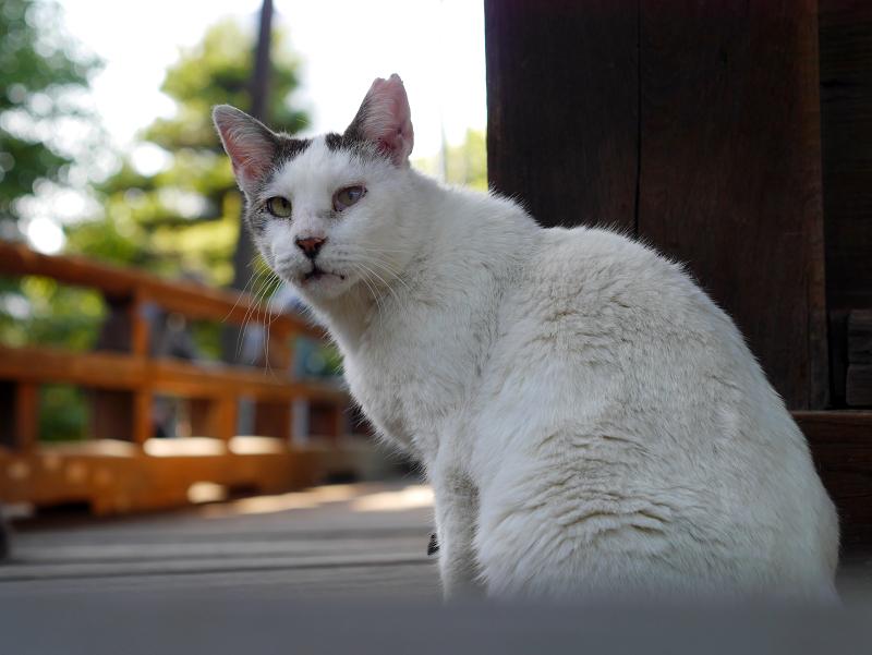 濡れ縁の白キジ猫2