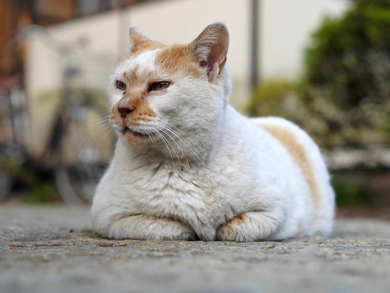 半分香箱の白茶猫2