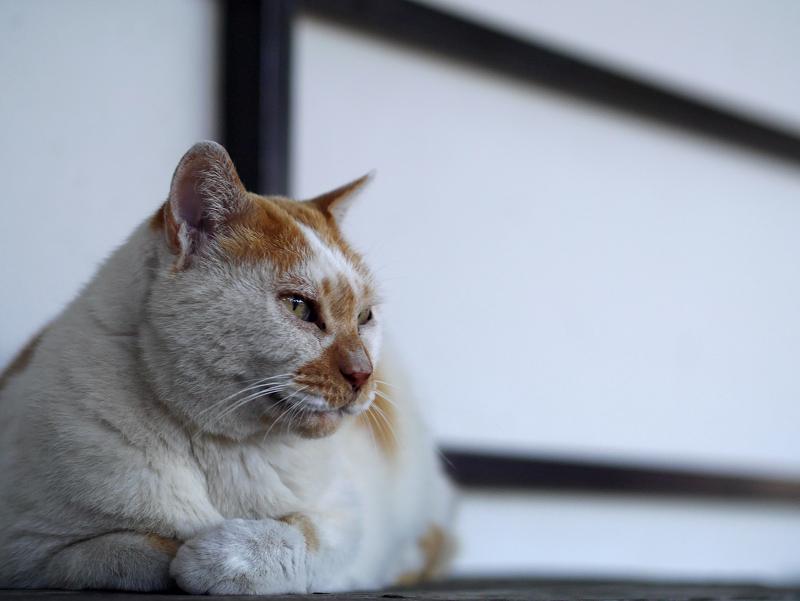 縁台上の白茶猫