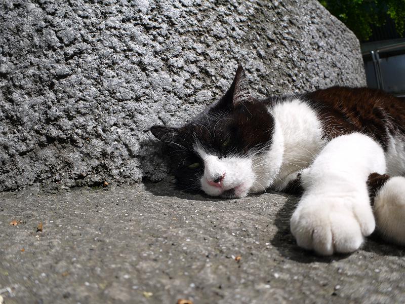 日差しの中で寝ちゃった黒白猫1