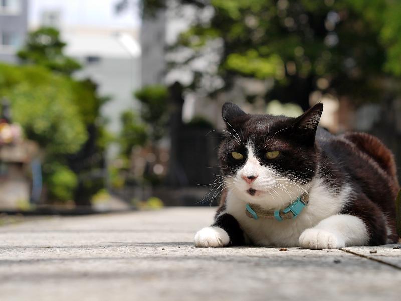 境内参道で腹ばってる黒白猫1