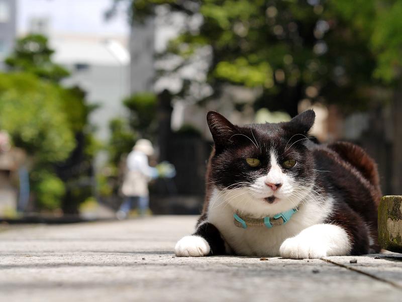 境内参道で腹ばってる黒白猫2