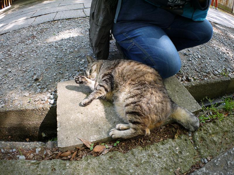 側溝の上から威嚇するキジトラ猫1