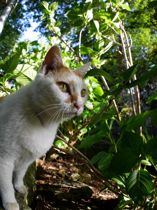真剣に何かを見ている白茶猫1