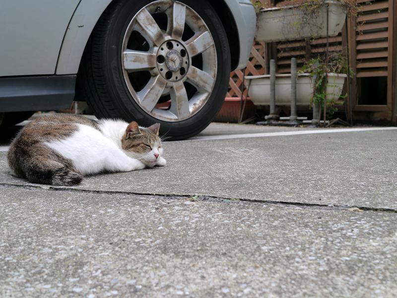 車横のキジ白猫1