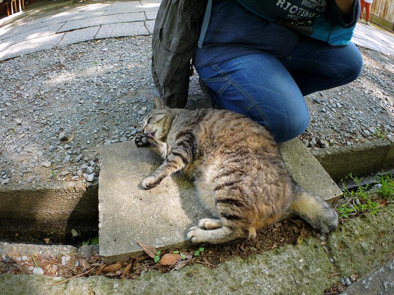 側溝の上から威嚇するキジトラ猫2