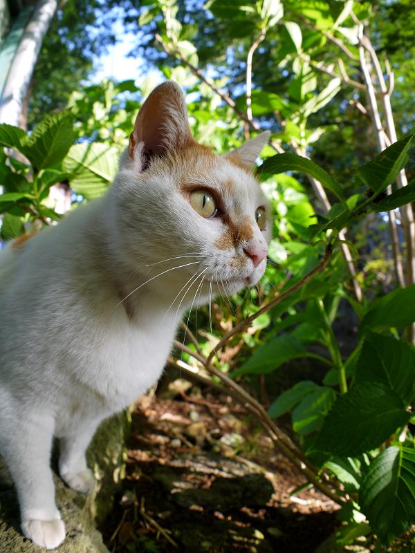 真剣に何かを見ている白茶猫2