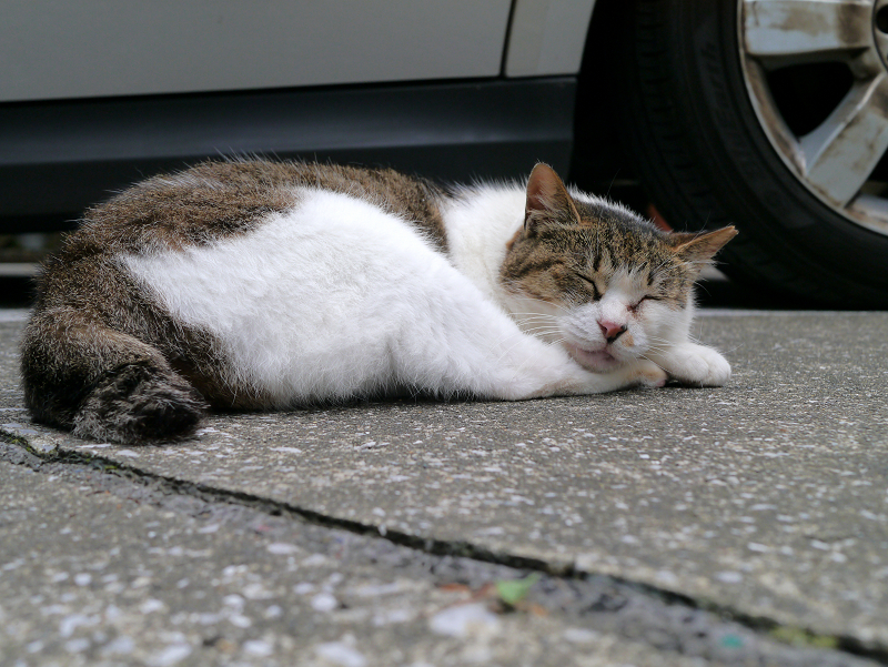 車横のキジ白猫3