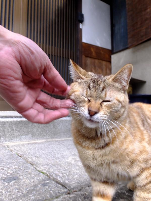 頬と眉間を触られるサビ柄猫1