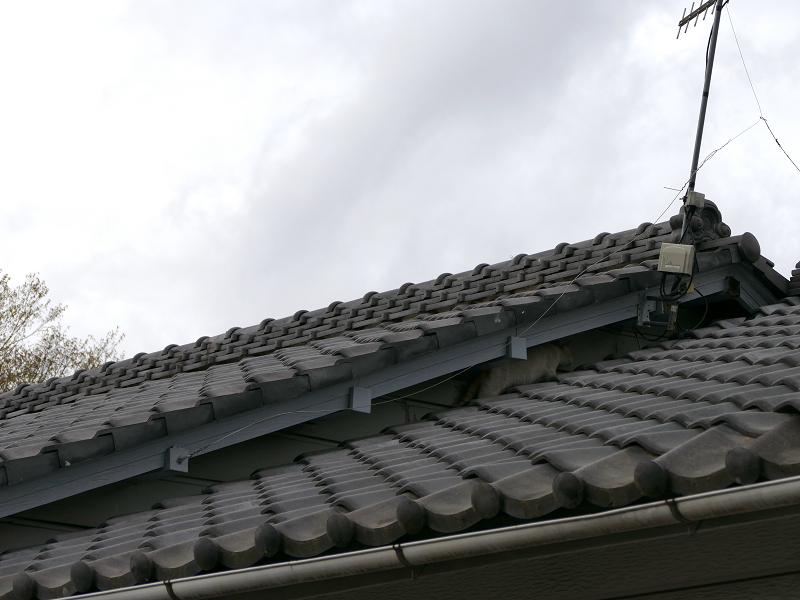 屋根の隙間の白茶猫1