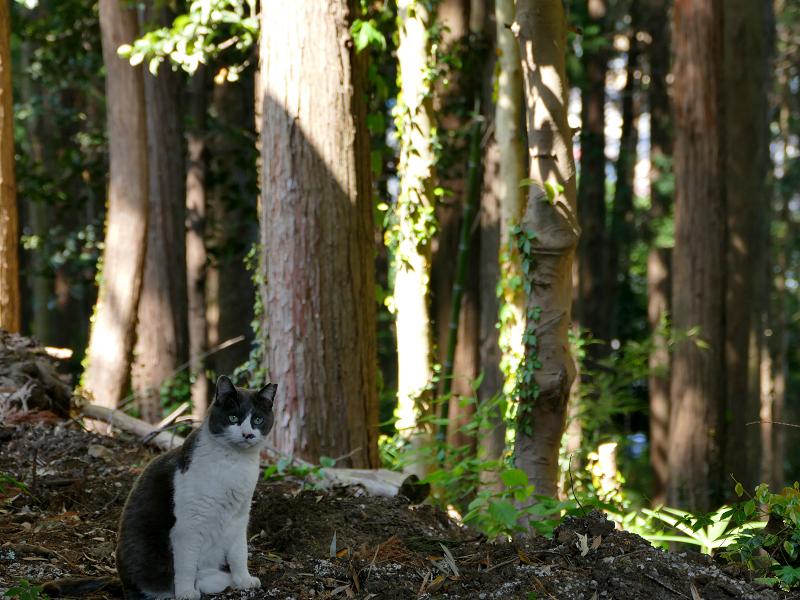 林を歩くグレー白猫1