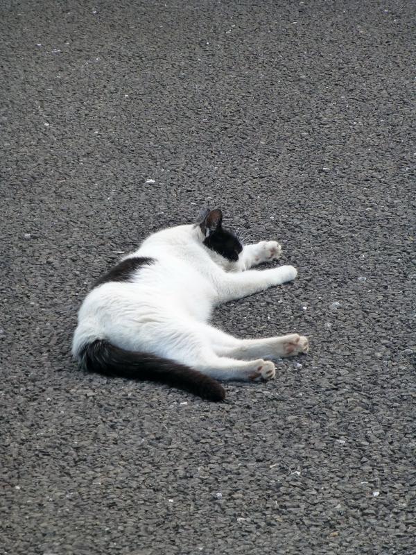 境内で寝ている白黒猫1