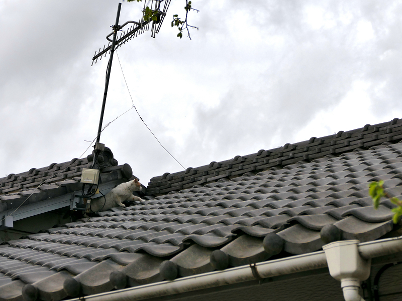 屋根の隙間の白茶猫2