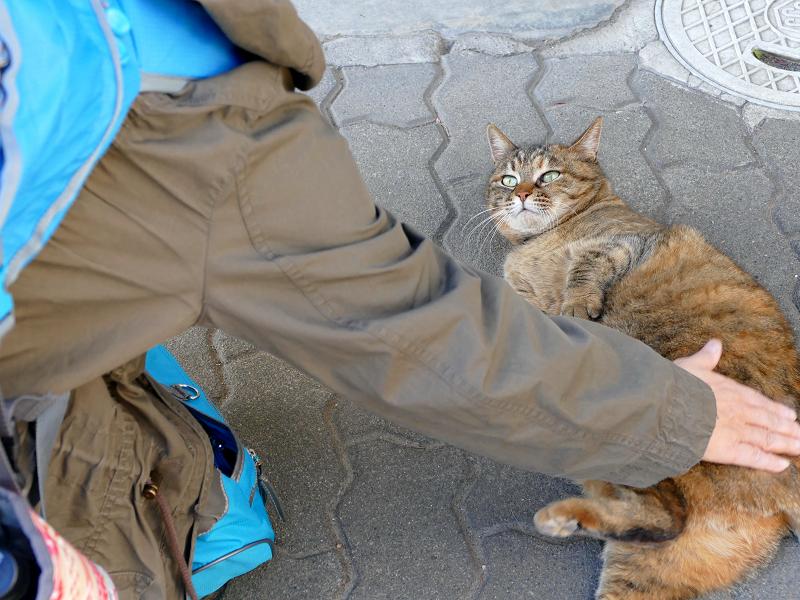 安心しきったキジトラ猫2