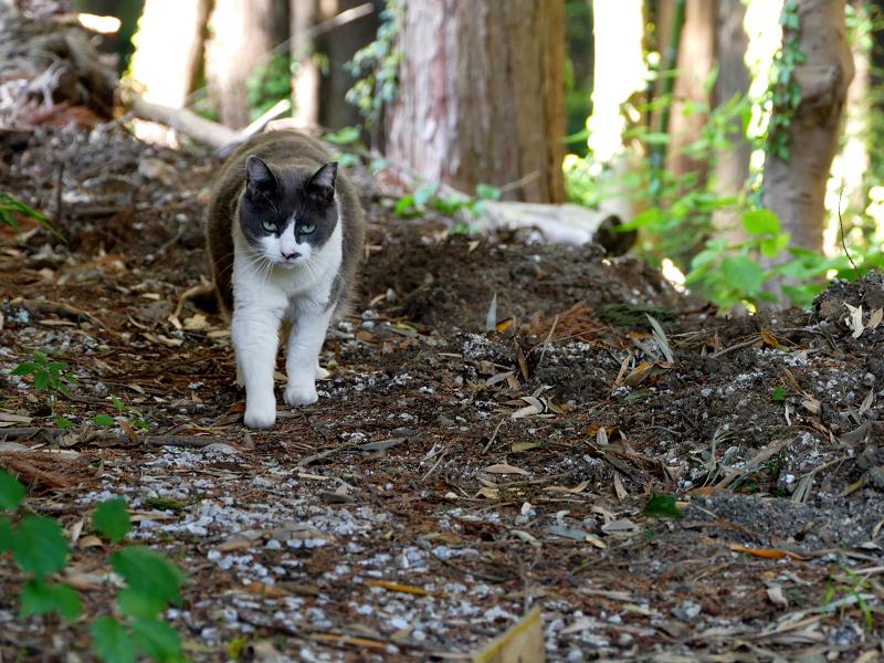 林を歩くグレー白猫2