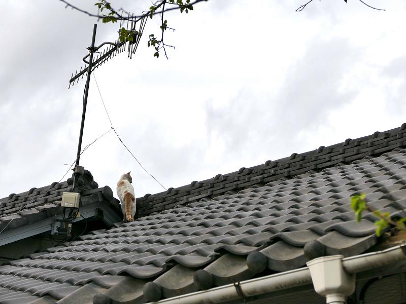屋根の隙間の白茶猫3