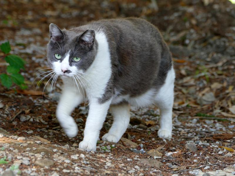 林を歩くグレー白猫3