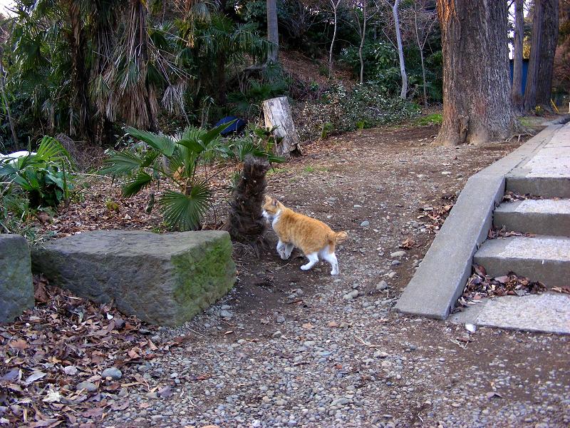 意外と若手の茶白猫1