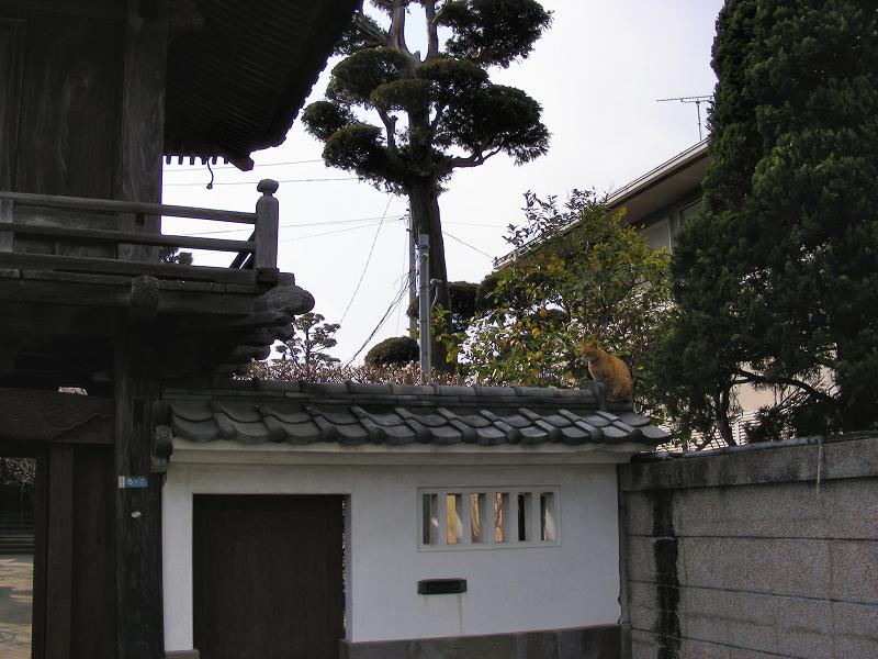 お寺の門瓦の茶トラ猫2