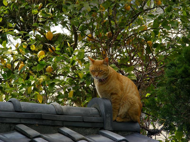 お寺の門瓦の茶トラ猫3