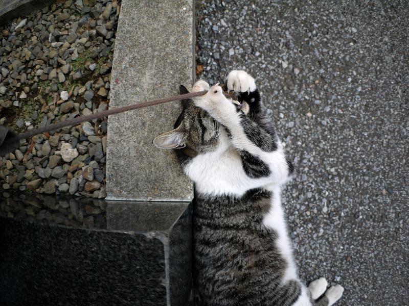 足元で紐で遊び続けるキジ白猫1