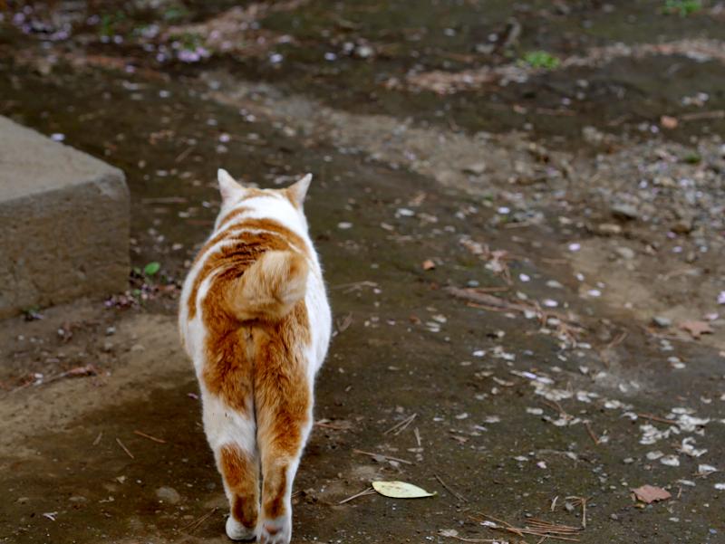 水を飲む茶白猫1