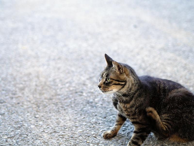 境内でカキカキするキジトラ猫1