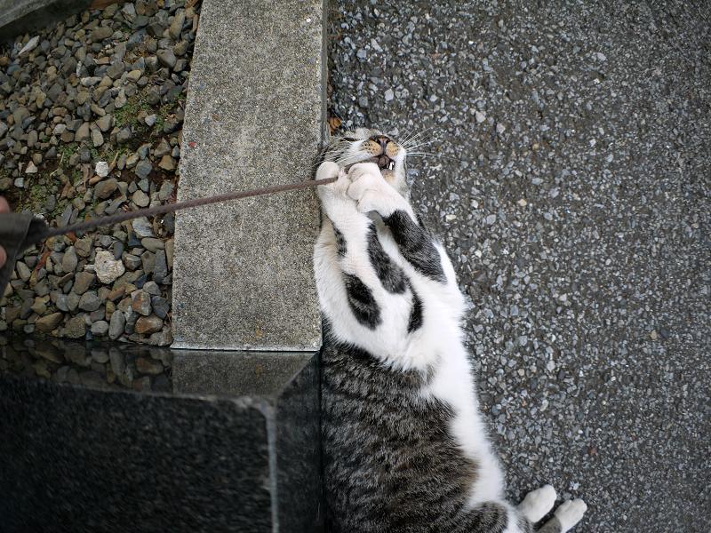 足元で紐で遊び続けるキジ白猫2