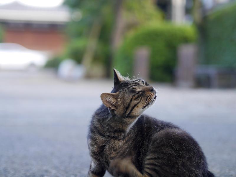 境内でカキカキするキジトラ猫2