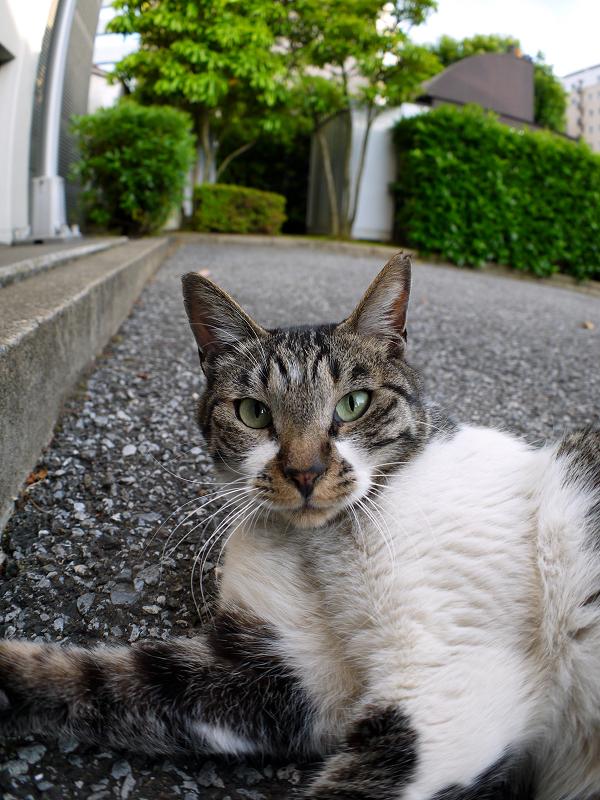 足元で紐で遊び続けるキジ白猫3
