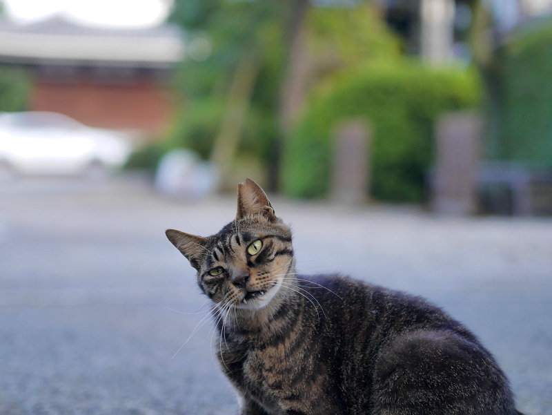 境内でカキカキするキジトラ猫3