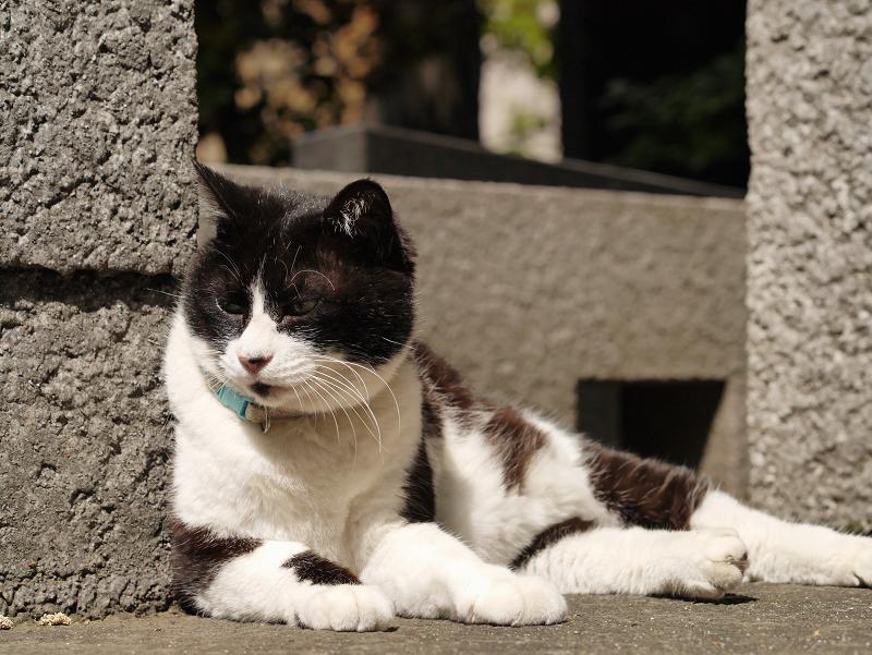 睨む黒白猫1