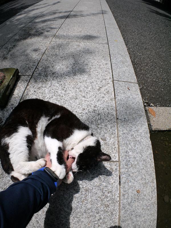 境内参道でキックパンチの黒白猫2